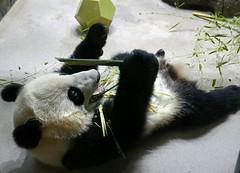 Bei Bei 2017-02-06 at 12.14 PM (MyFoto:)) Tags: panda cub vulnerable beibei mammals giantpanda ailuropoda melanoleuca smithsonian nationalzoo nature conservationdependent wildlife zoologicalgardens washington dc eating bamboo animalplanet