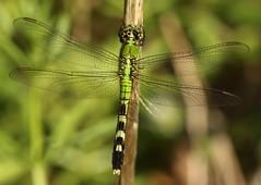 Eastern Pondhawk (Erythemis simplicicollis) Female (Rezamink) Tags: erythemissimplicicollis easternpondhawk dragonflies odonata usa