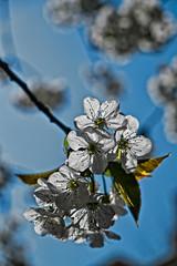 Light through cherry blossom (patrick Thiaudiere, thanks for 1 million views) Tags: flower blossom tree sky blue bleu blanc white bokeh light lumiere transparence synecdoque flickrfriday floraison cerisiers jardin cherry cerisier cerise branche bourgeon fleur