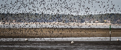 All together (Jean-Luc Peluchon) Tags: lumix mer nature sauvage eau panoramique faune oiseau plage rivage paysage
