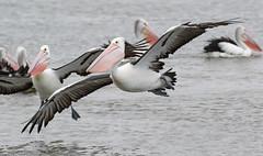 We're back (christinaportphotography) Tags: australianpelican pelecanusconspicillatus pelican centralcoast nsw australia bird birds wild free flying pink courting landing focus
