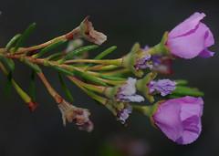 Pileanthus bellus, Kings Park, Perth, WA, 30/12/16 (Russell Cumming) Tags: plant pileanthus pileanthusbellus myrtaceae kingspark perth westernaustralia