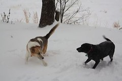 snow dawgs (jak.conrad) Tags: lucy twizzler dog dogs rainbowbridge heartbroken rescue pups dogislove mutt