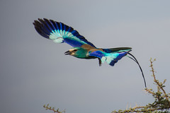 Abyssinian Roller Flying (Barbara Evans 7) Tags: abyssinian roller flying ethiopia barbara evans7