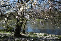 London (Elizabethhy) Tags: london park spring blossom sunny canon1dsmarkiii canonllens