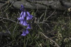Hyacint (hugomaes1) Tags: hyacinthus hyacinth hyacint flower