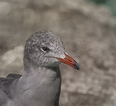 Seagull  I (z_a_r_a___c_a_l_i_s_t_a) Tags: nature seagull bird portrait light outdor head eyes aquatic nikon nikkor