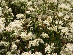 Buckwheat (Eriogonum fasciculatum) Bee (HockeyholicAZ) Tags: arizona sr87 northernarizona payson rye gisela duthiemartinhighway beelinehighway mountord mogollon mogollonrim buckwheat zydeco meditation calm peaceful infinity horizon mountain highcountry