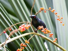20170313-EM121189 (shutterblades) Tags: birds bukittimahnaturereserve hindhedenaturepark olympusem1mkii olympusmzuiko300mmf4pro starlings
