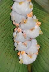 Honduran white Bats (anacm.silva) Tags: honduranwhitebats bats morcegos morcegosbrancoshondurenhos wild wildlife nature natureza naturaleza rainforest brauliocarrillonationalpark guápiles costarica brauliocarrillorainforest