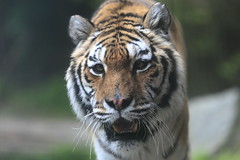 The Queen ! (carlo612001) Tags: tiger tigre animali animals wildbeast predators mammals mammiferi
