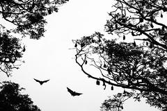 Flying foxes (Olar Barndok) Tags: flyingfox srilanka blackandwhite colony
