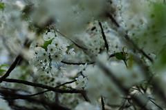 DSC02693 (Michael Rasmussen) Tags: sony sonya99 berlin germany flower flowers blomster blomst michaelrasmussen minoltaamount fullframe tiergarten