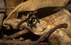 silver black litter jumper (dustaway) Tags: arthropoda arachnida araneae araneomorphae salticidae euophryinae genus jumpingspider australianspiders nature sandstone woodland richmondvalley northernrivers nsw australia leaflitter salpesiabicolor