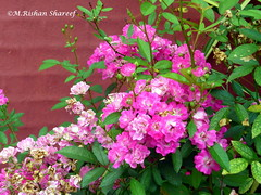 Roses (M.RISHAN SHAREEF) Tags: rose mawanella nature native red evening earth enjoy leaves flowers flower family green garden grean thenature winter morning pink srilanka tree wildflower