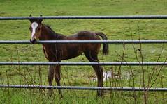 Two weeks old (shireye) Tags: horse foal baby comoxvalley vancouv vancouverisland bc britishcolumbia nikon d610 24120 ff fullframe fx fence fencefriday hff raindrops