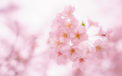Sakura - Nikon D3s & Nikon AF-S Nikkor 24mm f/1.4G ED (TORO*) Tags: nikon d3s af afs nikkor 24 24mm f14g f14 14 ed wakayama castle park japan bokeh blur tree plant blossom depth field pastel outdoor flower japanese sakura cherry pink