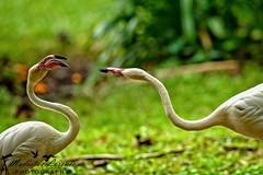 Quarrelling.. (Modestus Lorence) Tags: markii 1dx isii f28 300mm canon birdpark singapore quarrel flemingo birds animals