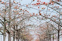 FILM | KAPOK TUNNEL (藍川芥 aikawake) Tags: kapok film 木棉花 tree flowers awesome tunnel 隧道 beautiful 漂亮 stunning magic nature 底片 pentax pentaxlx kodak proimage100