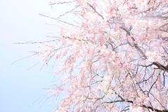 いろあい。 (ゆうき。) Tags: nikon d5000 nature spring blue pink 桜 春 ピンク 青 空