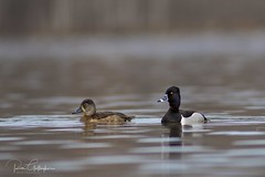 Ring-necked Duck (Ron Gallagher Photography) Tags: d7100 duck drake ducks diver wildlife wow wings wild wildlifephotography waders water garden gardenriver great grooming waterfoul sault saultstemarie ontario