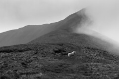 sheep (singular) (sharty40) Tags: sheep monochrome blakandwhite breach beacons mist wales mountains