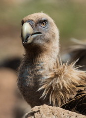 126.2 Vale Gier-20170405-J1704-48979 (dirkvanmourik) Tags: buitreleonado corvisser eurasiangriffon gypsfulvus ineziatoursgierenfotografiereisapril2017 spanje valegier vogelsvaneuropa bird