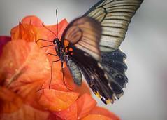 Butterfly Breakfast II (kleptografy) Tags: butterfly wings flight insect wildlife wild flower blossom food breakfast