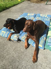 Relaxing In The Sun - Dobermann Pinschers Gabbana and Zeus (firehouse.ie) Tags: black red female male animals canine k9 dobermans doberman dobermanns dobermann pinschers pinscher dobeys dobey dobies dobie dobes dobe dogs dog gabbana zeus
