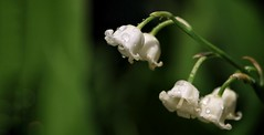 Mughetto (Luc1659) Tags: garden bianco rugiada mughetto fiore flower macro dettagli verde white gocce acqua green lilyofthevalley