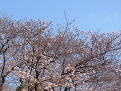 Another big Somei-yoshino tree (nofrills) Tags: flora floral plant plants flower flowers blossom blossoms cherry cherryblossom cherryblossoms season spring 桜 ソメイヨシノ urbantree tree japan 桜色 sky beginning