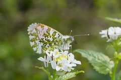 Male orange tip (gillian.pullinger) Tags: orangetip orangetipbutterfly butterfly lepidoptera insect wildlife nature magdalenhill hampshire