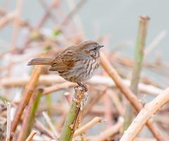 Boring. (Omygodtom) Tags: wildlife wild bokeh bird sparrow outdoors flora nature nikon d7100 nikon70300mmvrlens abstract animalplanet animal