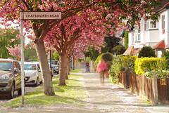 _C0A9390REWS Matching Pink, © Jon Perry, 12-4-17 zaz (Jon Perry - Enlightenshade) Tags: jonperry enlightenshade arranginglightcom blossoms pinkblossoms pink petals windy breeze movement longexposure chiswick w4 staveleyroad street spring 12417 20170412