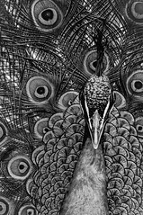 like a drawing (petdek) Tags: blackandwhite monochrome 600mm tele peacock lineart mamiyasekor