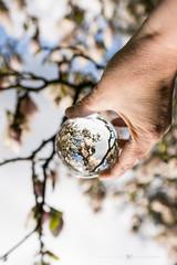 (CarolienCadoni..) Tags: sonyslta99 sony sal2470z blossom magnolia hand crystalball creative pink spring stadskanaal groningen nederland netherlands holland bokeh dof