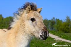 Konik foal (PAPERCUTSKIN) Tags: foal konik oostvaarderplassen horse pony polish
