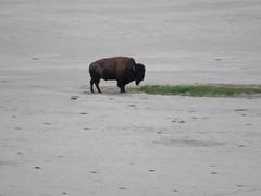 American bison (Bison bison) (mdp1342) Tags: americanbison bisonbison bison buffalo antelopeislandstatepark greatsaltlake utah usa antelopeisland