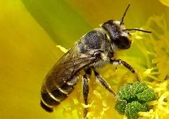 Abeja Pécora/ Pecora or Foraging Bee. (jerodamor@yahoo.com.mx) Tags: naturaleza animales insectos