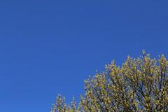Le ciel bleu (RW-V) Tags: canoneos70d canonef100mmf28lmacroisusm bluesky sky bleu blue blau blauw ciel himmel hemel arbre baum tree boom printemps frühling spring lente sooc 80faves 100faves 120faves