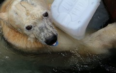 Mit Schnuller... (♥ ♥ ♥ flickrsprotte♥ ♥ ♥) Tags: eisbär zoo hannover mitastaunterwegs