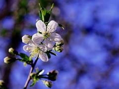 Cherry Tree (Will.Mak) Tags: willmak olympus em1markii olympusm45mmf18 45mm f18 cherrytree