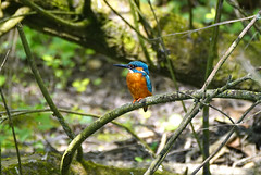 Salisbury Kingfisher (SteveJM2009) Tags: alcedoatthis male kingfisher riveravon harnham salisbury wilts wiltshire uk tree sun light colour plumage dof focus branches spring april 2017 stevemaskell explored