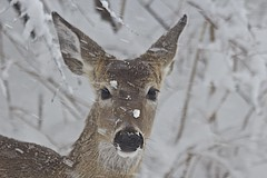 """It's a blizzard out here!"" (showmesavings) Tags: deer blizzard snow winter cold ice surviving endurance nature survival chaotic"