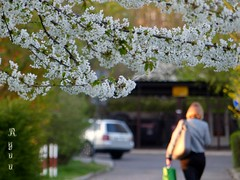 walk under cherry tree (Ola 竜) Tags: cherryblossom sakura candid street walk woman bag sunny spring bloomingtree branches whiteflowers blossom tree twigs rearpov car green urbannature pavement alley focus dof bokeh fz200 composition