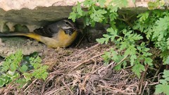 Grey wagtails (Motacilla cinerea) feeding chicks (Ian Redding) Tags: greywagtail motacillacinerea greywagtails nest chicks feeding young hatchlings foecalsac fecalsac hygiene nesting onnest feedingyoung bright wagtails yellow motacillidae birds bird fauna wildlife nature uk british european longtail colourful plumage breeding