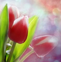 Birthday Bouquet (Jean Turner Cain) Tags: flower flora fleur tulip pink jeanturnercain nature
