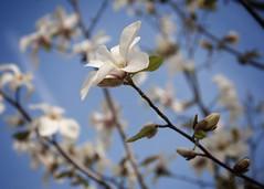 コブシ (torugatoru) Tags: flower japan tokyo nikon sigma magnolia kobushi d90 コブシ