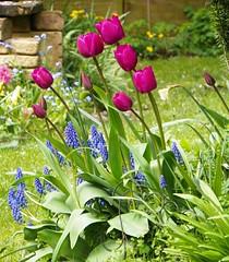 Contrast (Martha-Ann48) Tags: flowers blue green leaves garden purple blossoms prince tulip variety blooms grape hyacinth muscariarmeniacum