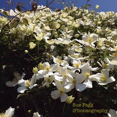 in scented waves (green-dinosaur) Tags: flowers light white garden square petals kent spring clematis environment sunlit iphone cottagegarden iphone4 iphoneography suefagg